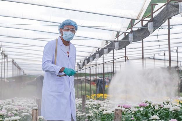 Male researchers inject fertilizer into chrysanthemum experiment plots