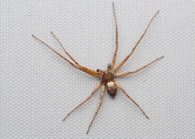 Male running crab spider (philodromus cespitum)