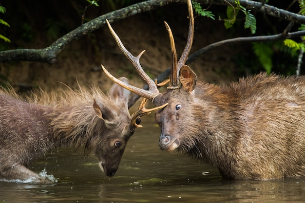Male sambar deer fighting in mating season in the lake
