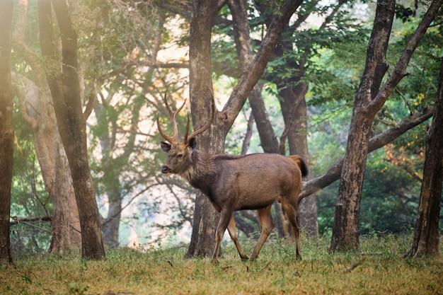 インドのラジャスタン州ランタンボール国立公園で男性サンバールサ単色鹿