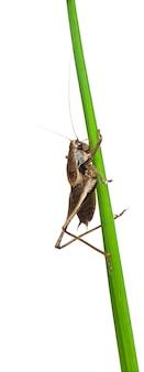 Male shield-back katydid - platycleis tessellata