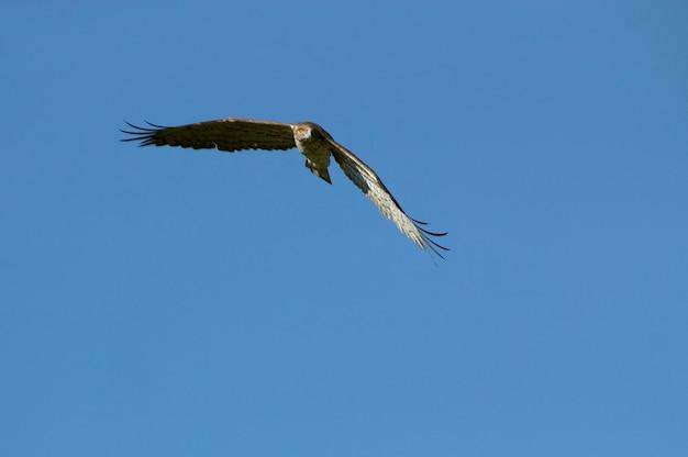 새벽의 첫 빛과 함께 날아가는 수컷 shorttoed eagle