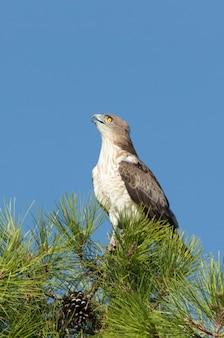 새벽의 첫 빛과 함께 소나무에 수컷 shorttoed eagle