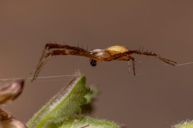 Argiope argentata 종의 남성 실버 가든 orbweaver