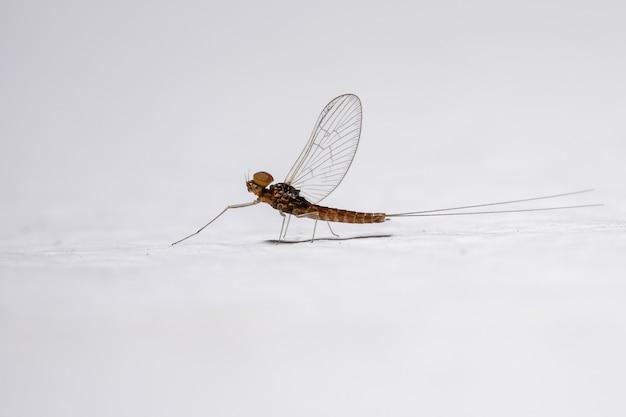 Male small mayfly of the genus genus baetis