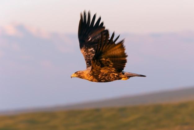 Самец испанского имперского орла, летящего с первыми лучами рассвета в холодный зимний день