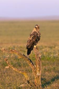 Самец испанского имперского орла в первых лучах рассвета в холодный зимний день
