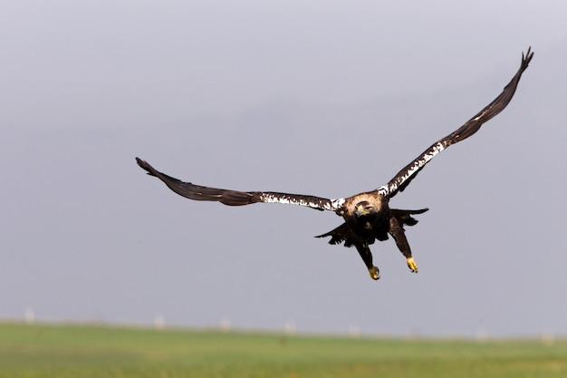 Испанский имперский орел-самец с огнями восхода солнца, летящий в поисках добычи