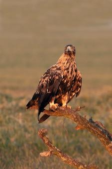 Самец испанского имперского орла с первыми лучами рассвета в холодный зимний день