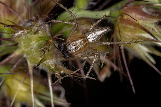 ササグモ属のオスの縞模様のササグモ