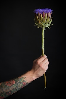 Male tattooed hand holding purple artichoke flower on black background, congratulatory concept, selective focus
