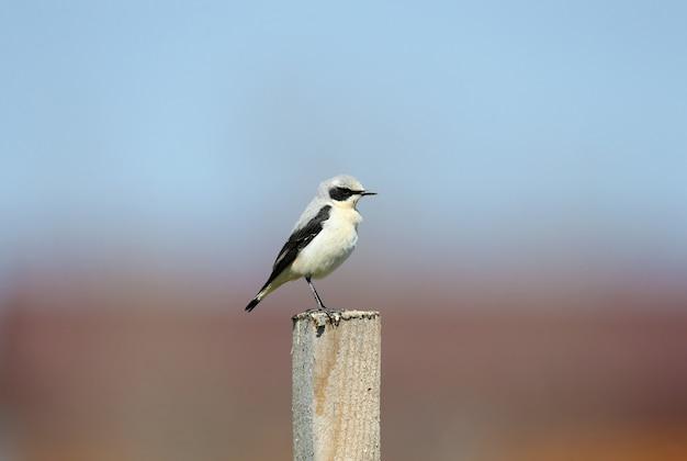 자연 서식지에서 촬영된 번식 깃털의 수컷 북부 밀이어 또는 밀이어(oenanthe oeanthe)