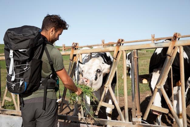 Путешественник-мужчина кормит коров