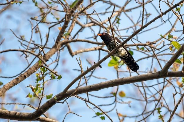 枝にとまる男性のバイオレットカッコウ、タイ
