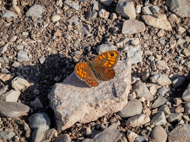 Male wall brown (lasiommata megera) on the ground in the mountain. dagestan. russia.