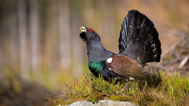 Male of western capercaillie displaying his full black tail.