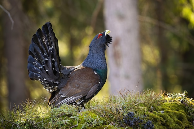 Male western capercaillie lekking in forest in spring.