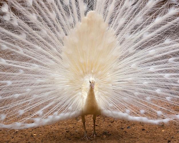 オスの白孔雀は尾羽を広げています。