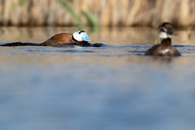 Male whiteheaded duck in breeding plumage with the first light of dawn in a wetland in central spain on a sunny day