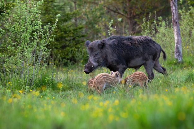 Male wild boar with white tusks and young piglets feeding on green meadow