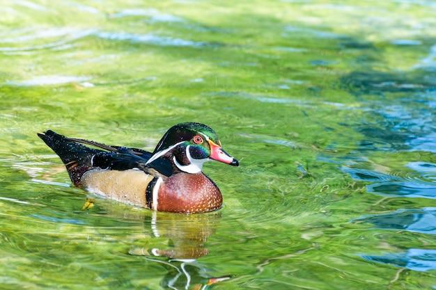 Самец древесной утки или carolina duck (aix sponsa), дикая утка была представлена как домашнее животное, которое радостно плывет по поверхности прозрачной воды.