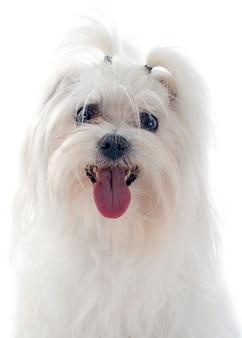 Maletese dog