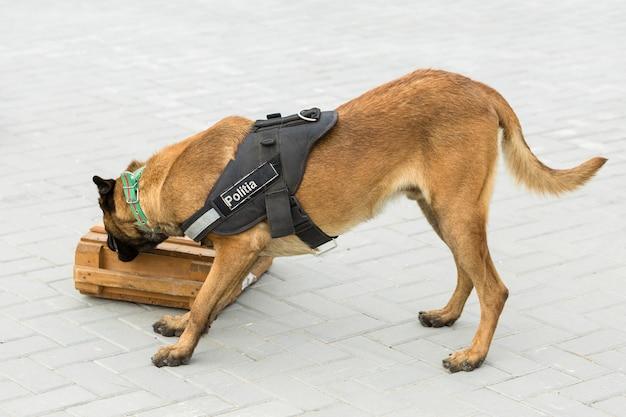 マリノアのベルギーの羊飼いが国境を守る国境軍は犬の能力を示しています