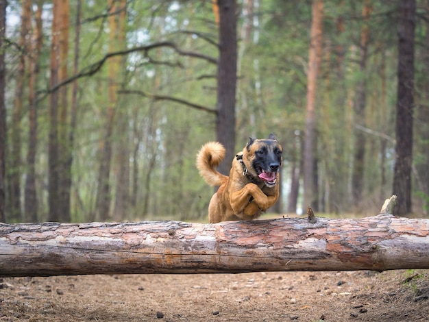 Собака породы малинуа прыгает через упавшее дерево в лесу
