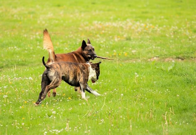 Malinois shepherd and pitbull playing