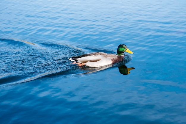 Mallard ( anas platyrhynchos) on blue water background