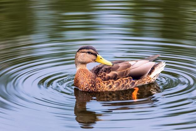 Кряква чистит перья в пруду лето