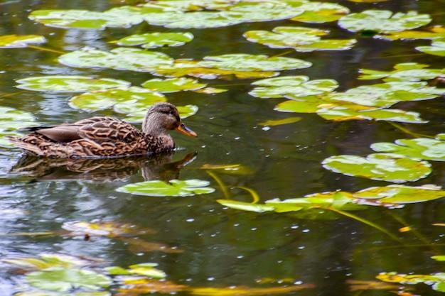 Утка кряквы на озере. лето