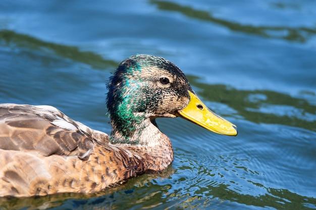물에 반사와 연못 그림에서 수영하는 청둥오리 오리