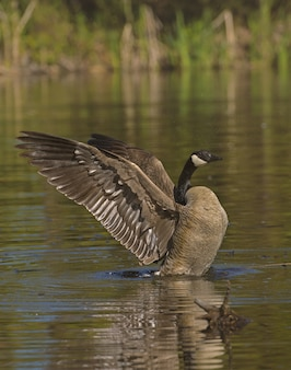 Утка кряквы с распростертыми крыльями на воде