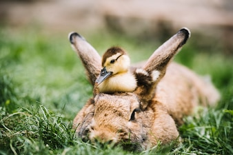 Mallard duckling sitting over hare's head on green grass