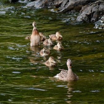 カナダ、オンタリオ州、レイク・オブ・ザ・ウッズの湖のオオカミ(anas platyrhynchos)