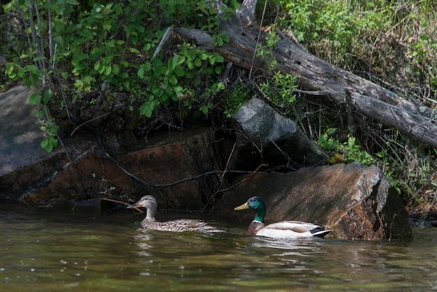 Mallard ducks (anas platyrhynchos) in a lake, lake of the woods, ontario, canada