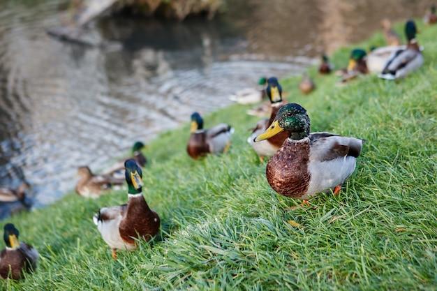 Mallard ducks on the green grass. selective focus