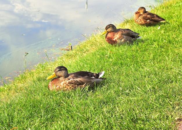 Утки кряквы в траве. три дикие птицы сидят на берегу озера
