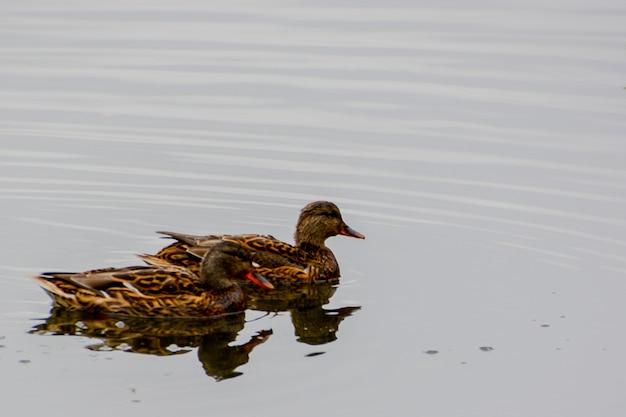Утки кряквы на озере. лето.