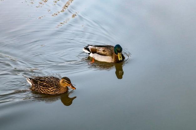 Утки кряквы плавают в озере днем