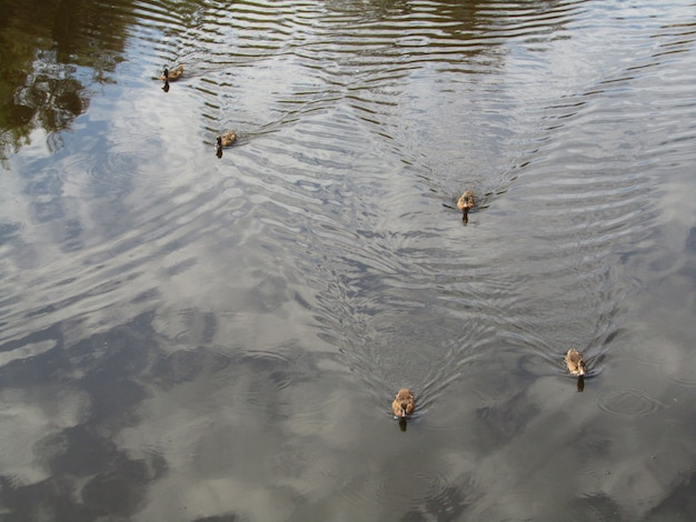 Mallard ducks swimming in the pond