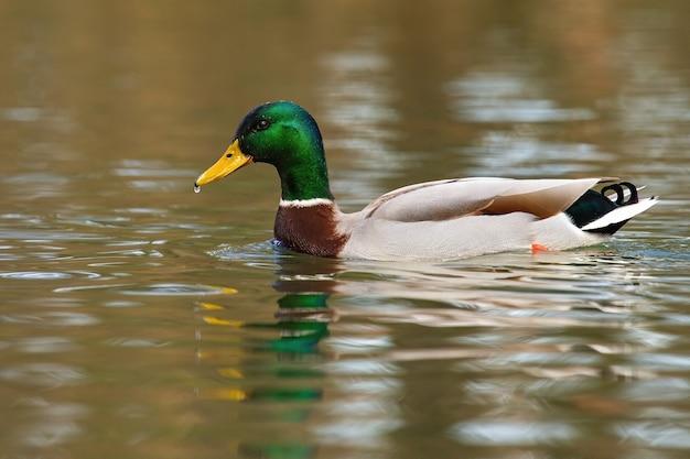 Кряква плавает по реке в весенней природе.