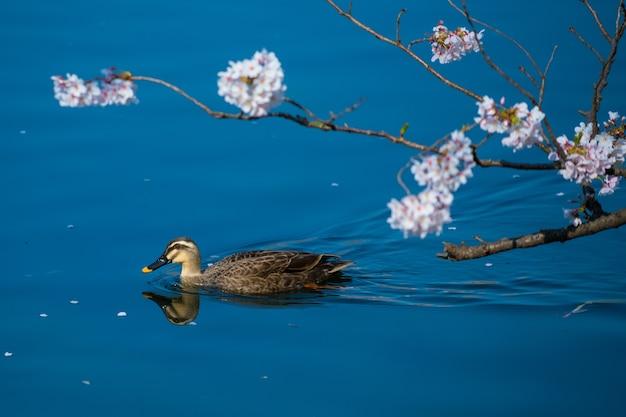 Mallard and japan sakura cherry blossom
