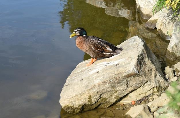 Самец кряквы отдыхает на камне