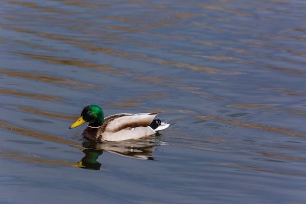 Mallard in spring in aiguamolls de l'emporda nature reserve, spain.