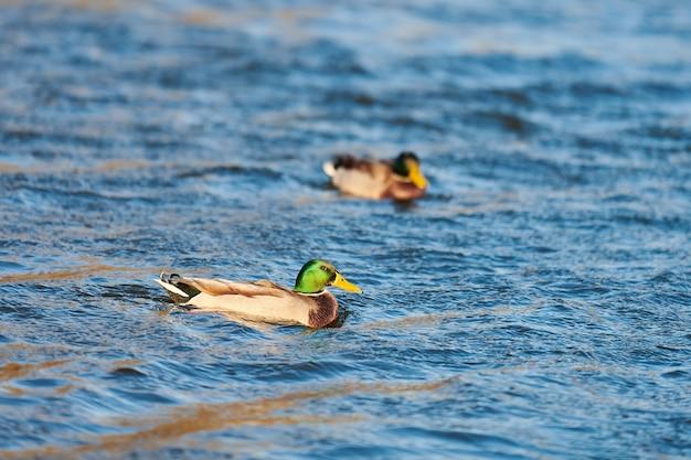 Кряквы водоплавающих птиц, плавающих в воде