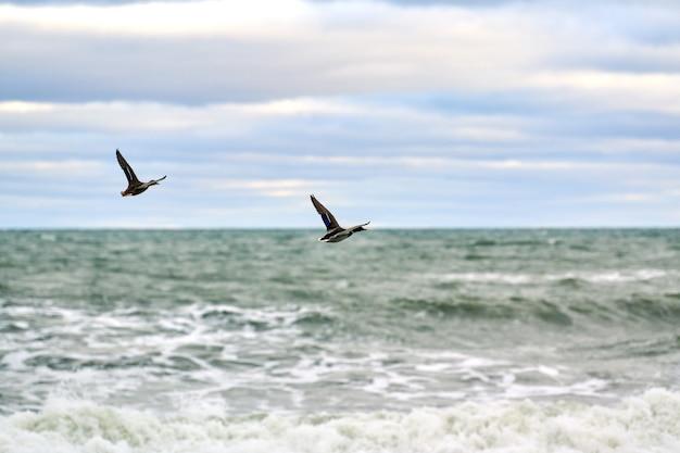 海の水の上を飛んでいるマガモの水鳥。 anas platyrhynchos、マガモ。自然の青い空と海の背景に鳥をホバリングします。