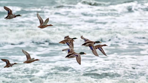 Кряквы водоплавающих птиц летают над морской водой