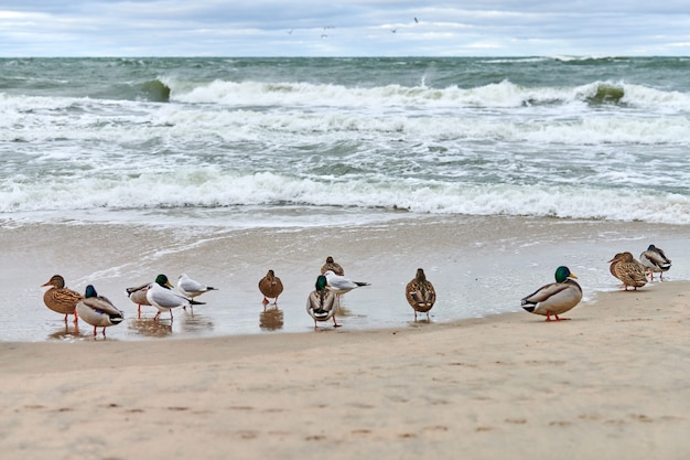 Кряквы водоплавающих птиц на береговой линии у балтийского моря